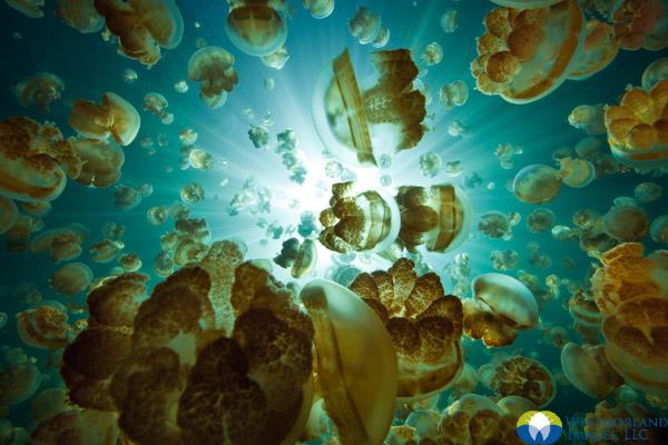 A Lake Full of Jellyfish. © Michele Westmorland
