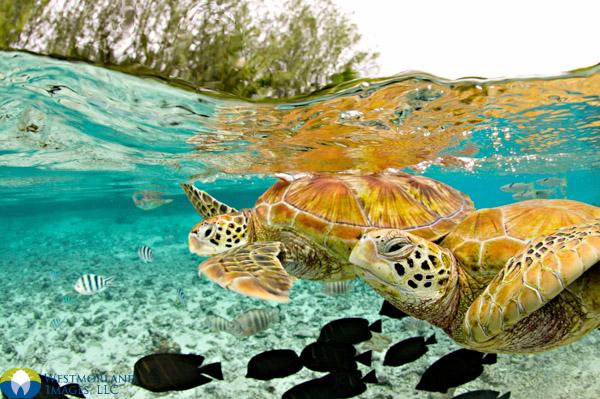 Turtles of Bora Bora. © Michele Westmorland