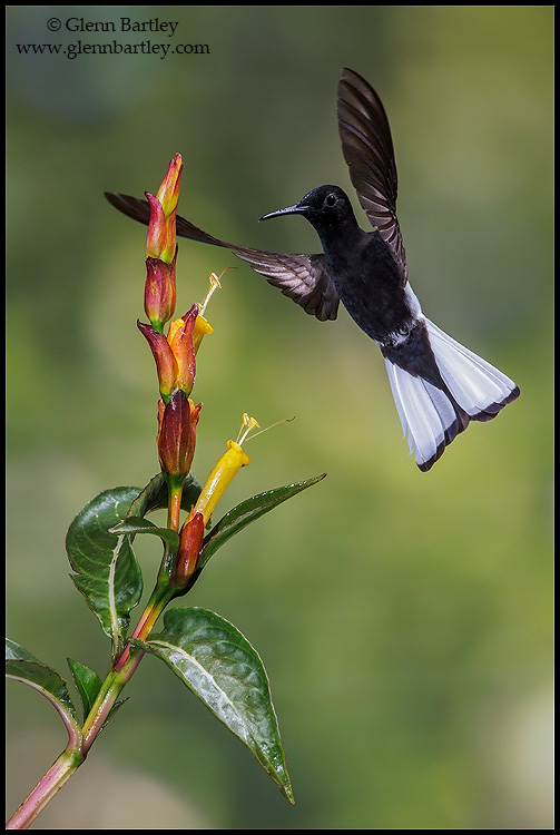 Black Jacobin (Florisuga fusca) flying and feeding at a flower in the Atlantic rainforest of southeast Brazil. © Glenn Bartley