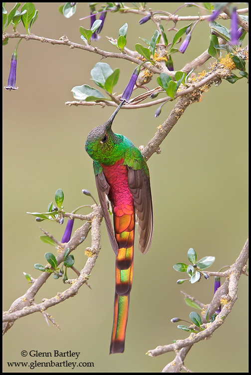 Red-tailed Comet (Sappho sparganura) perched on a branch in Bolivia, South America. © Glenn Bartley