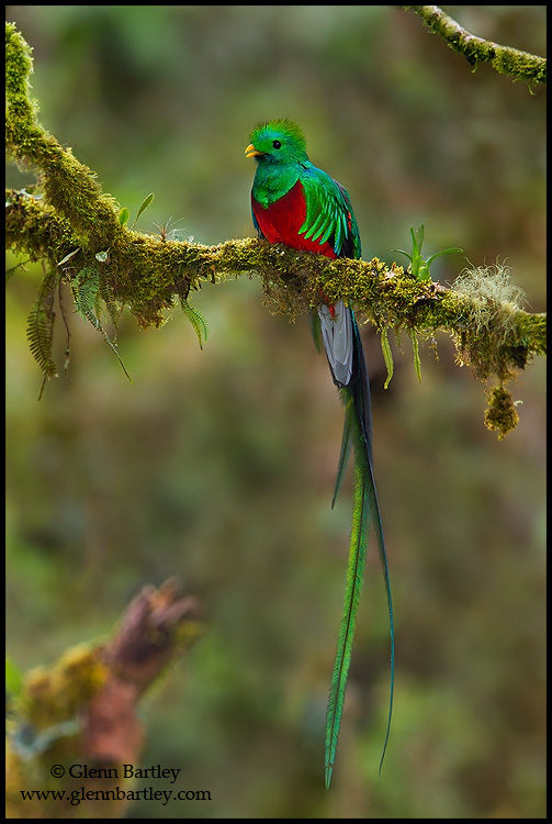 Resplendent Quetzal (Pharomachrus mocinno) perched on a branch in Costa Rica. © Glenn Bartley