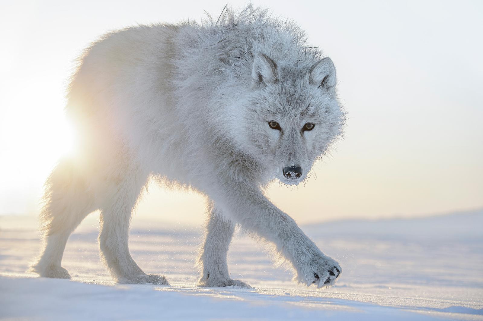 Arctique by Photographer Vincent Munier