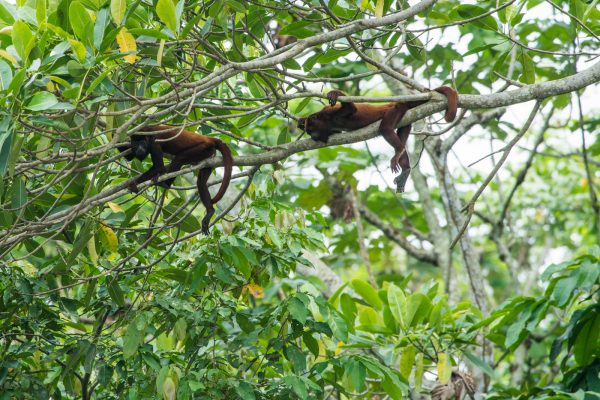 Endangered Brown Spider Monkeys keep watch from the trees in Columbia.