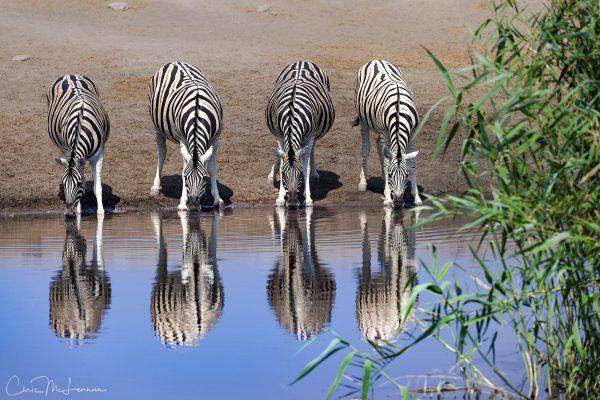 Zebras, Namibia, Africa
