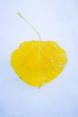 Aspen Leaf and Dew; Colorado Rockies. © Joseph Roybal