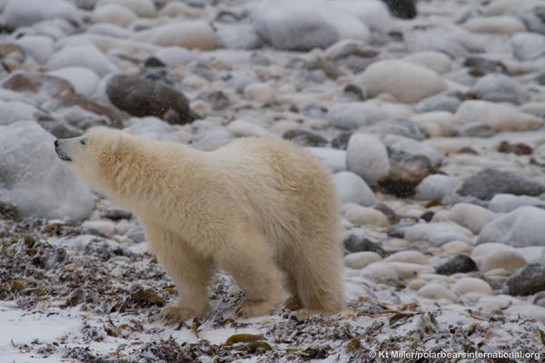 © Kt Miller/polarbearsinternational.org