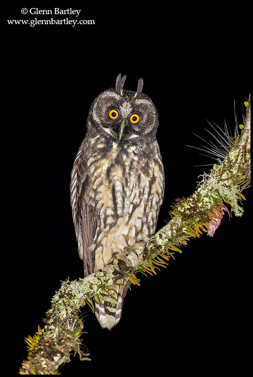 Stygian Owl (Asio stygius) perched on a branch in the Atlantic rainforest of southeast Brazil. © Glenn Bartley